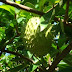 IF YOU THOUGHT SOURSOP COULD CURE CANCER, YOU THOUGHT WRONG