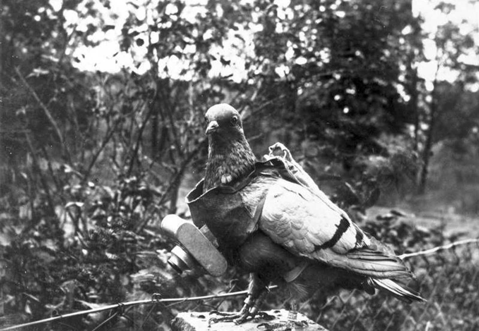 A pigeon with a small camera attached. The trained birds were used experimentally by German citizen Julius Neubronner, before and during the war years, capturing aerial images when a timer mechanism clicked the shutter.