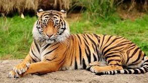 Tiger Facts in Hindi