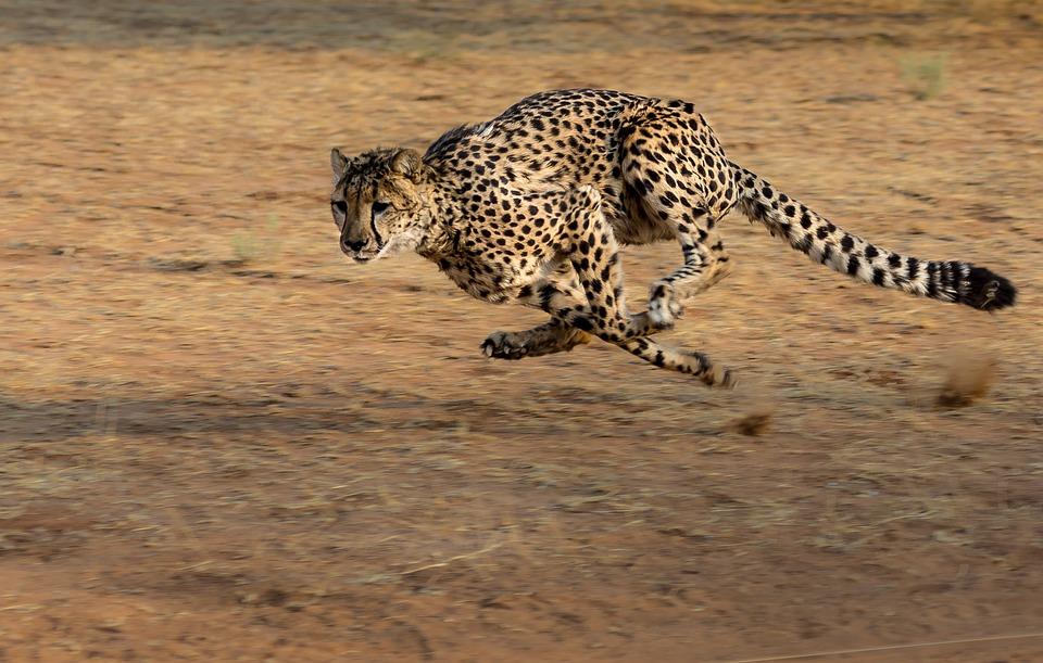 fakta cheetah