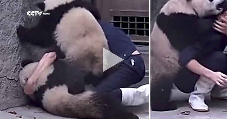 Cute baby Pandas won't take their medicine, they wrestle the zookeeper instead