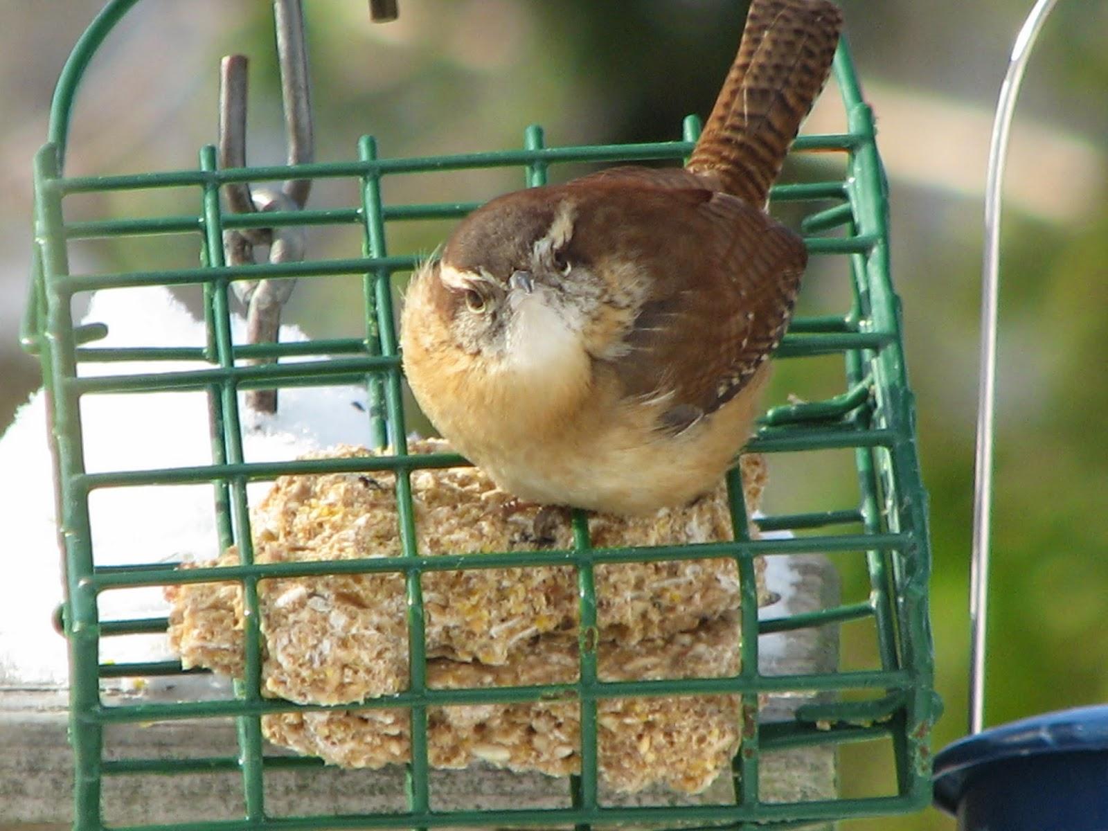 south burlington birds carolina wren photos south burlington