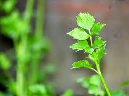 http://obat-herbal-produksi-rumah.blogspot.com/2015/03/obatsakitmata-dari-seledri.html