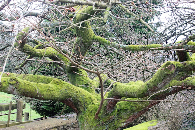 A tree furred with moss at Cotswold Farm