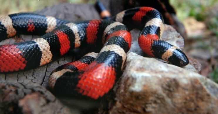 Süt yılanı sık sık zehirsiz yılanlarlarla karıştırılır, fakat tam aksine zehirli bir türdür.
