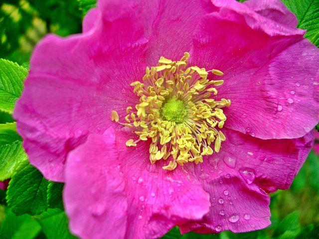 kwiat, róża, pyłek, pręciki, woda