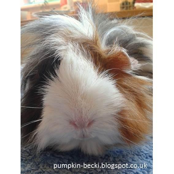 Rosie Peruvian Guinea Pig died July 2017