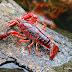 Procambarus Clarkii Red (กุ้งเรดเจแปน)