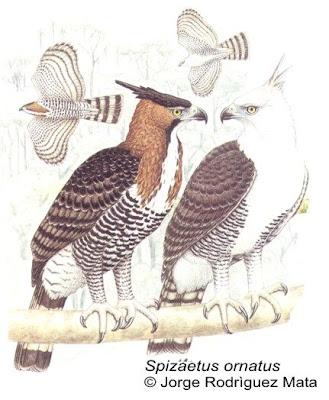 Águila crestuda real Spizaetus ornatus