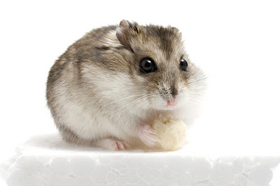 Dwarf Hamster Looking Cute
