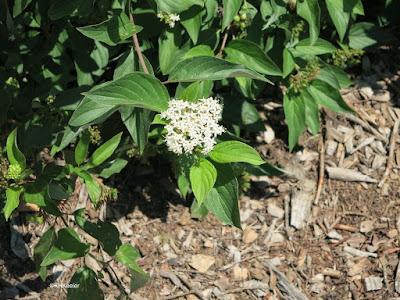 red osier dogwood flower