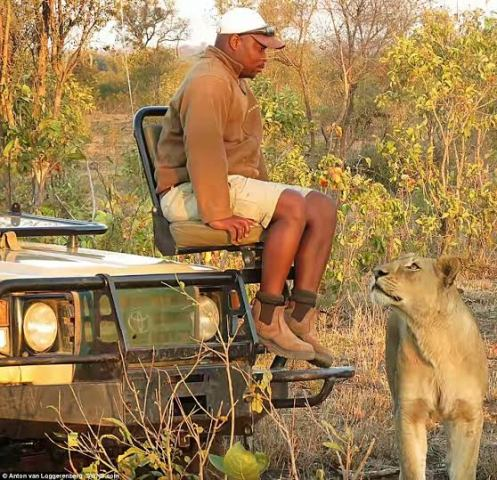 Safari ranger sits perfectly still as Lion passes just inches away from him (see photos)