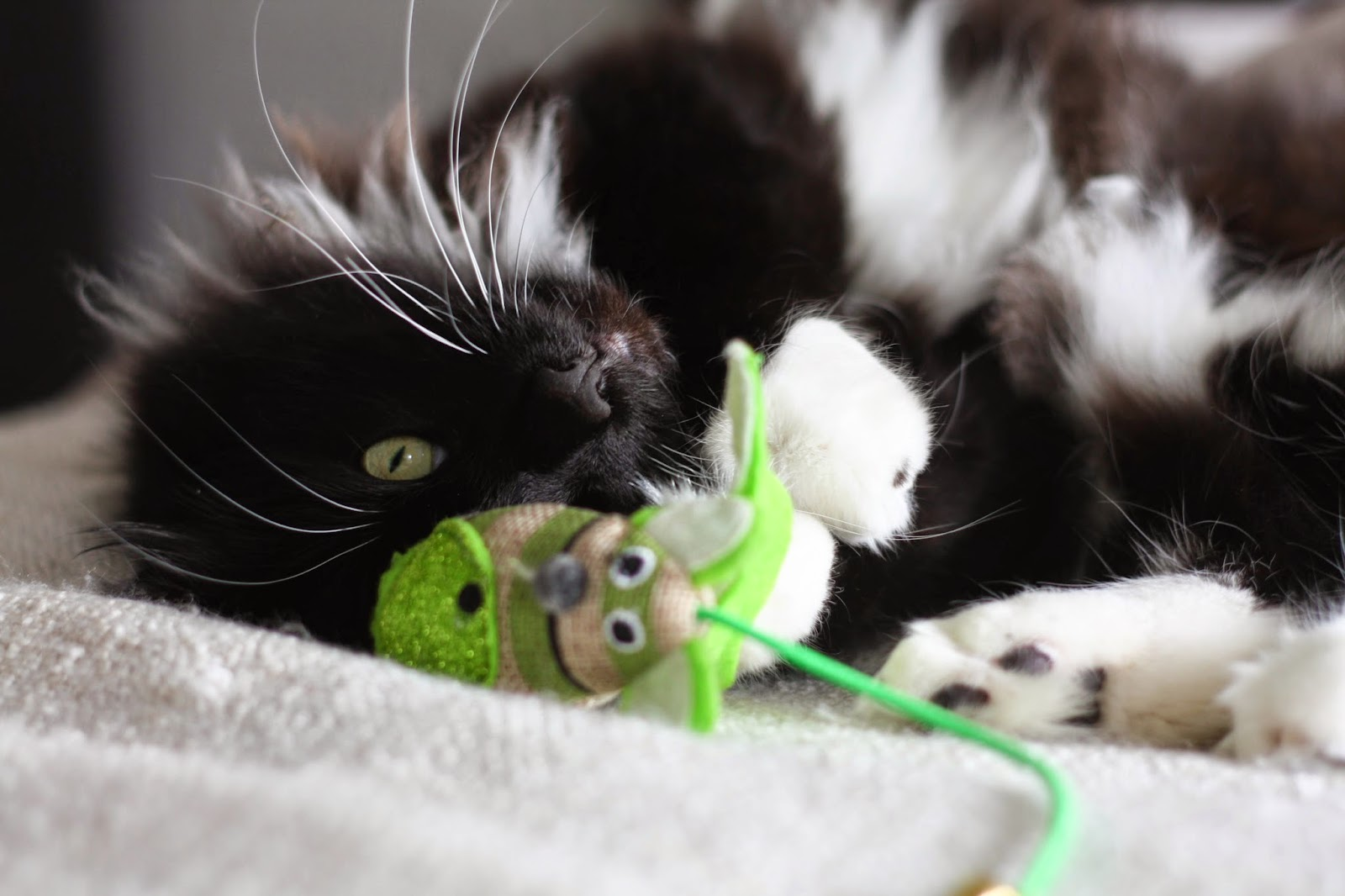 The one where Cookie reviews cat toys & collars