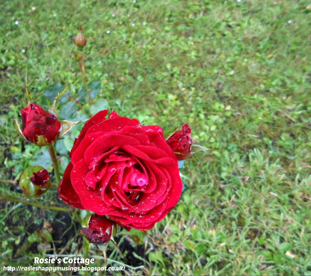 Beauty in nature, raindrops on a rose...
