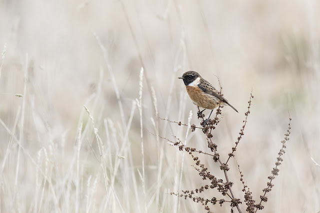 Male Stonechat (My top pic of the day)