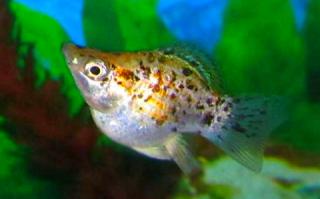 Lihat sejarah dan asal usul dari ikan hias molly