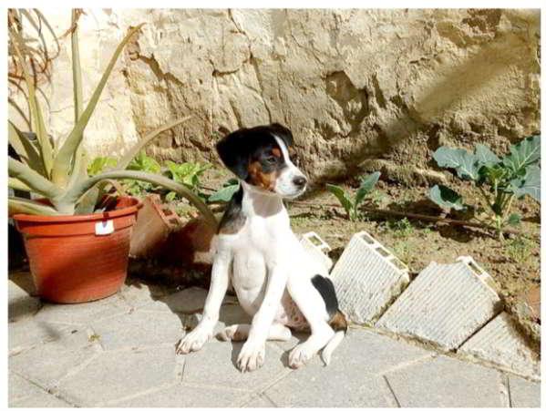 cachorra cruce bodeguero