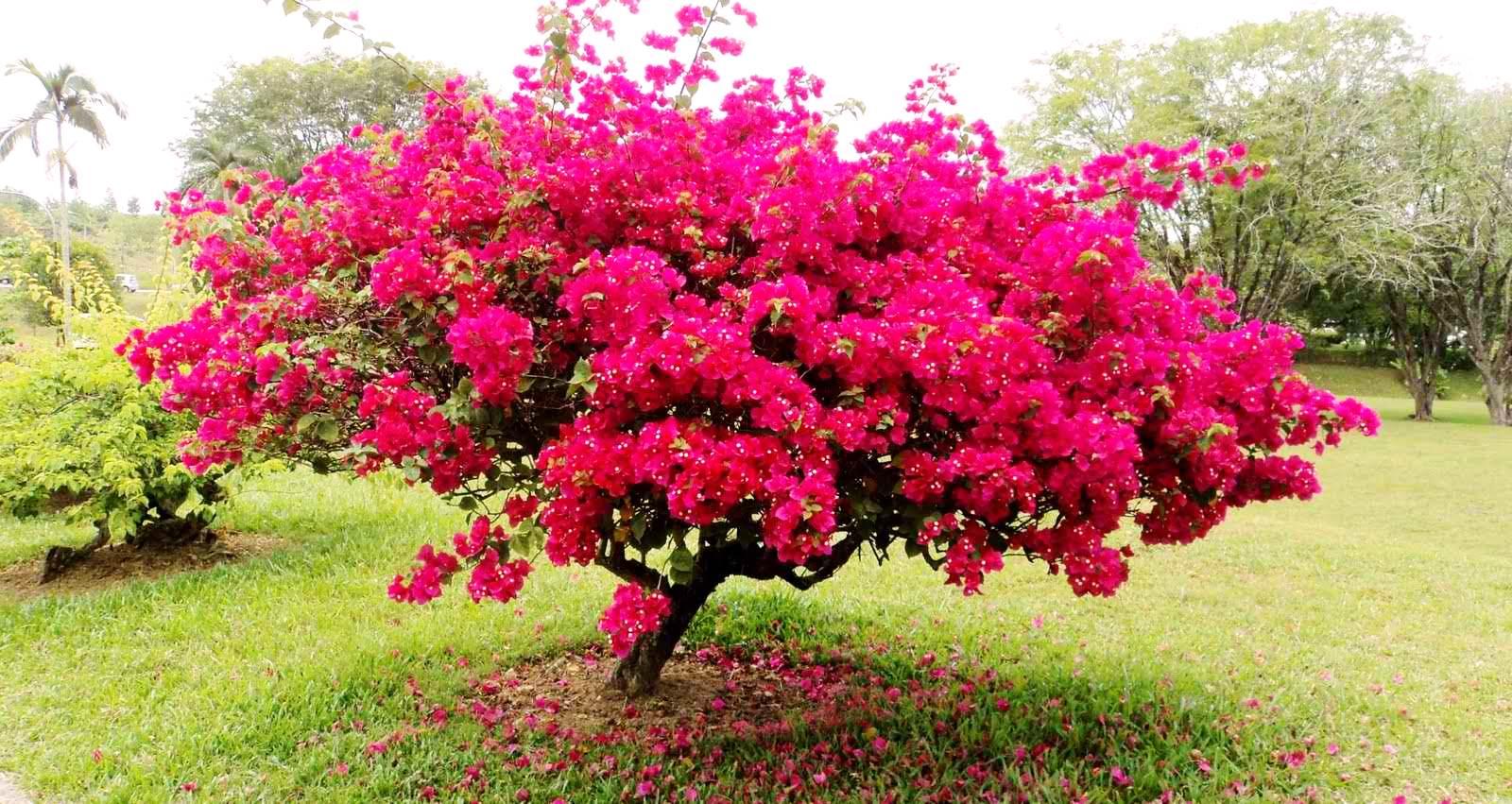 El Viajero: Paper Flowers: Bougainvillea in Bloom