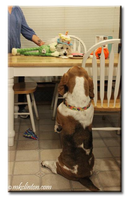 Basset sitting up to sing happy birthday to Wesite
