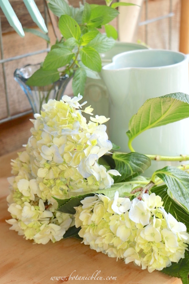 white-blue-green-hydrangeas-on-potting-bench