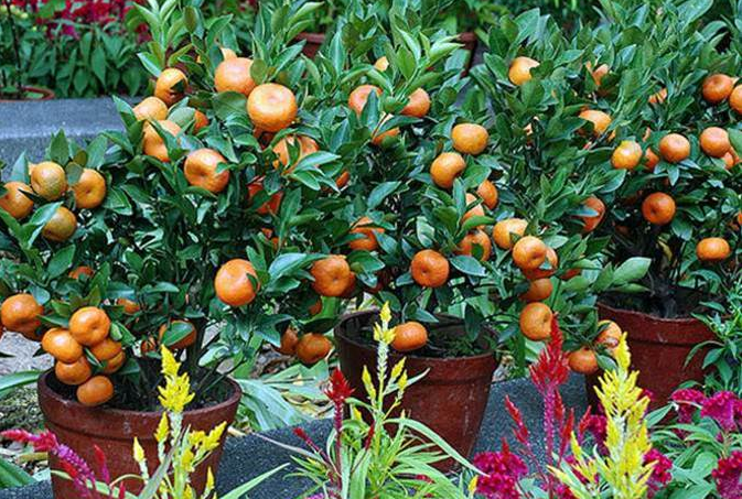 dwarf lemon trees for sale online 1