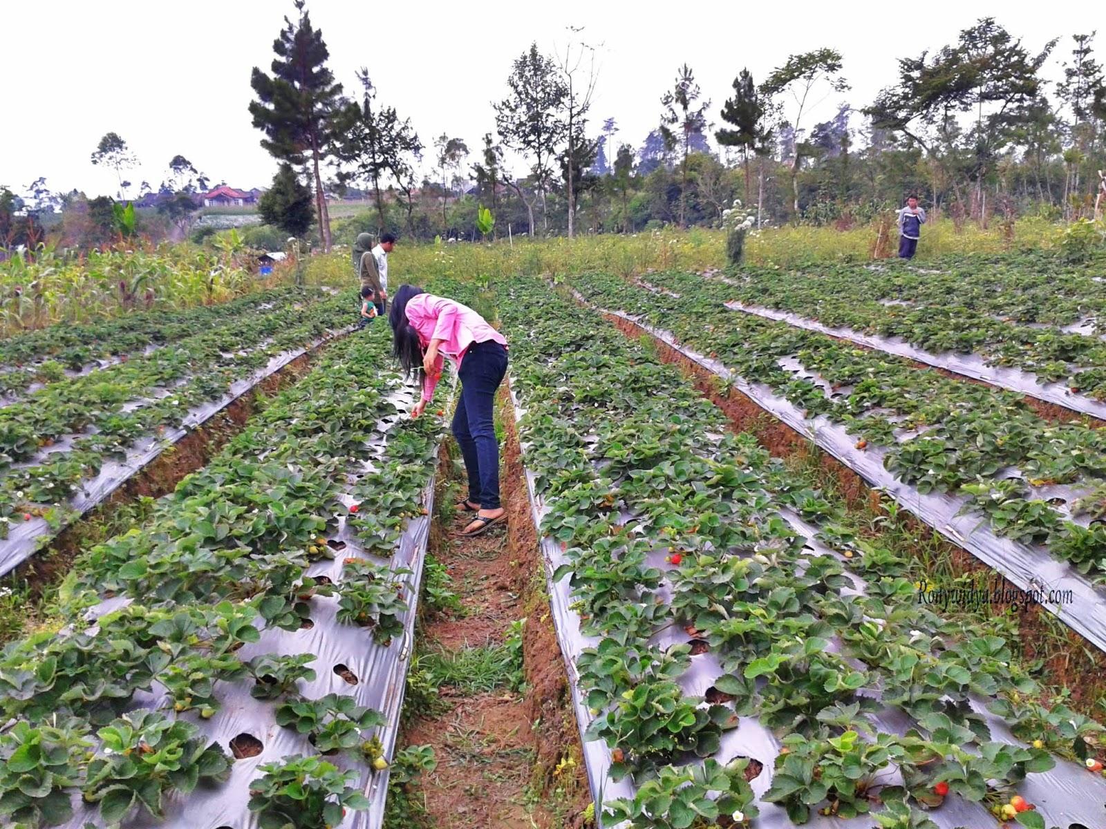 Lowongan Kerja Perkebunan Februari 2013 Lowongan Kerja Pt Petro Jordan Abadi Agustus 2016 Terbaru Kebun Strawberry Agrowisata Di Purbalingga Ronny Widya