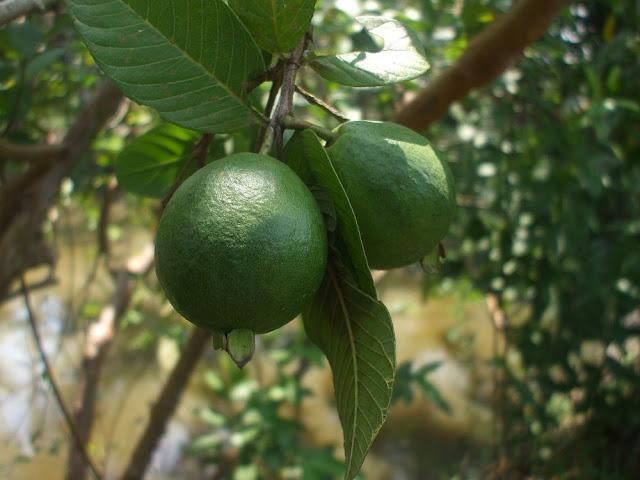 Quả Ổi - Psidium guyjava - Nguyên liệu làm thuốc Chữa Đi Lỏng-Đau Bụng