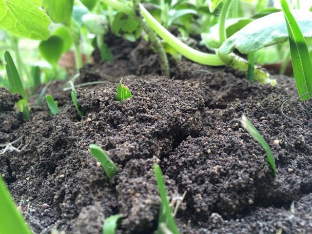 pemupukan tanaman hias,pupuk organik,pupuk buatan
