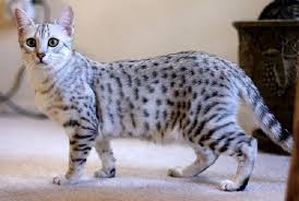 the Egyptian Mau