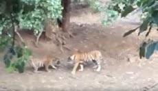 Pertarungan Sengit Dua Harimau di Kebun Binatang
