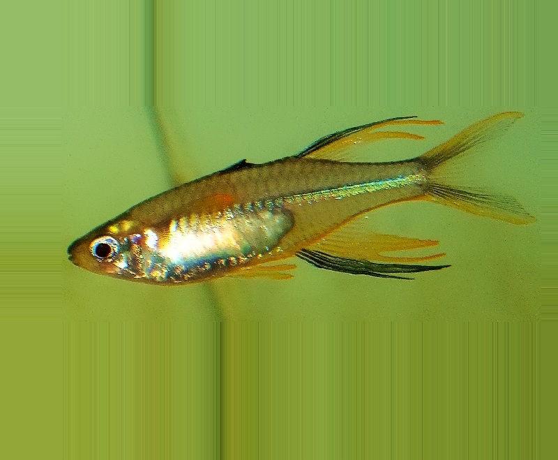 harga ikan hias rainbow