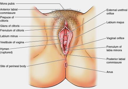 organ an Is vagina the