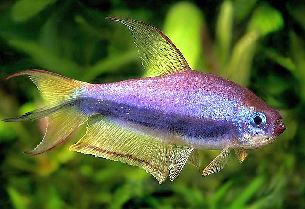 Joe 39 s aquaworld for exotic fishes mumbai india 9833898901 for Tetra acquario