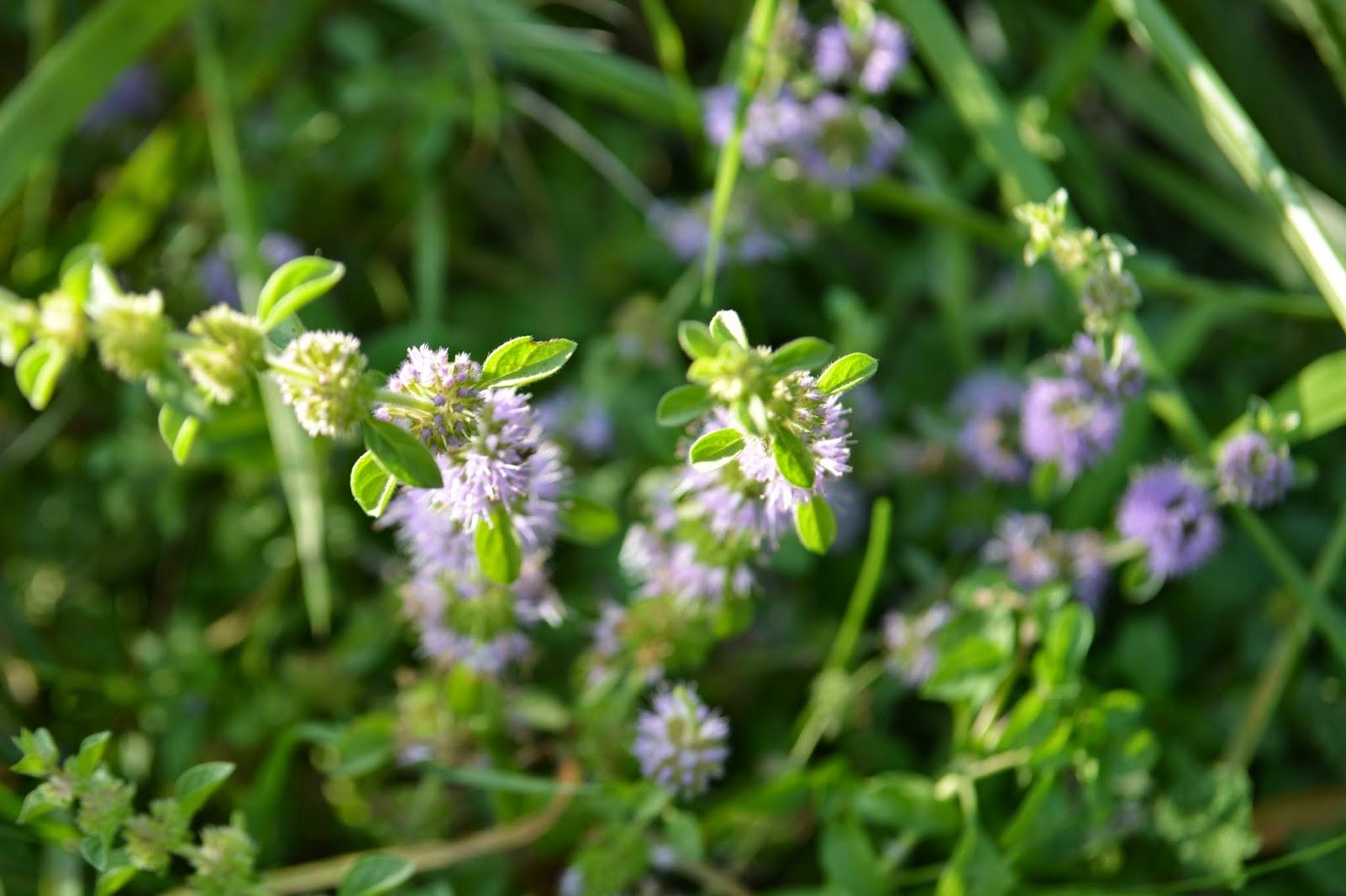 Poleo, menta, cubresuelo perfumado entre el pasto. Semisombra