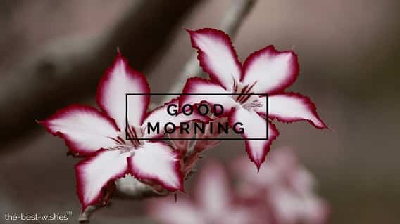 good morning with rose flowers impala lily floral plant