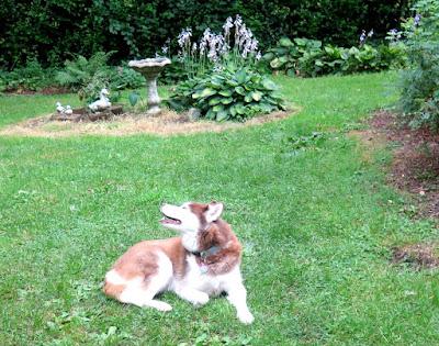 My dog enjoying Summer breezes in the yard