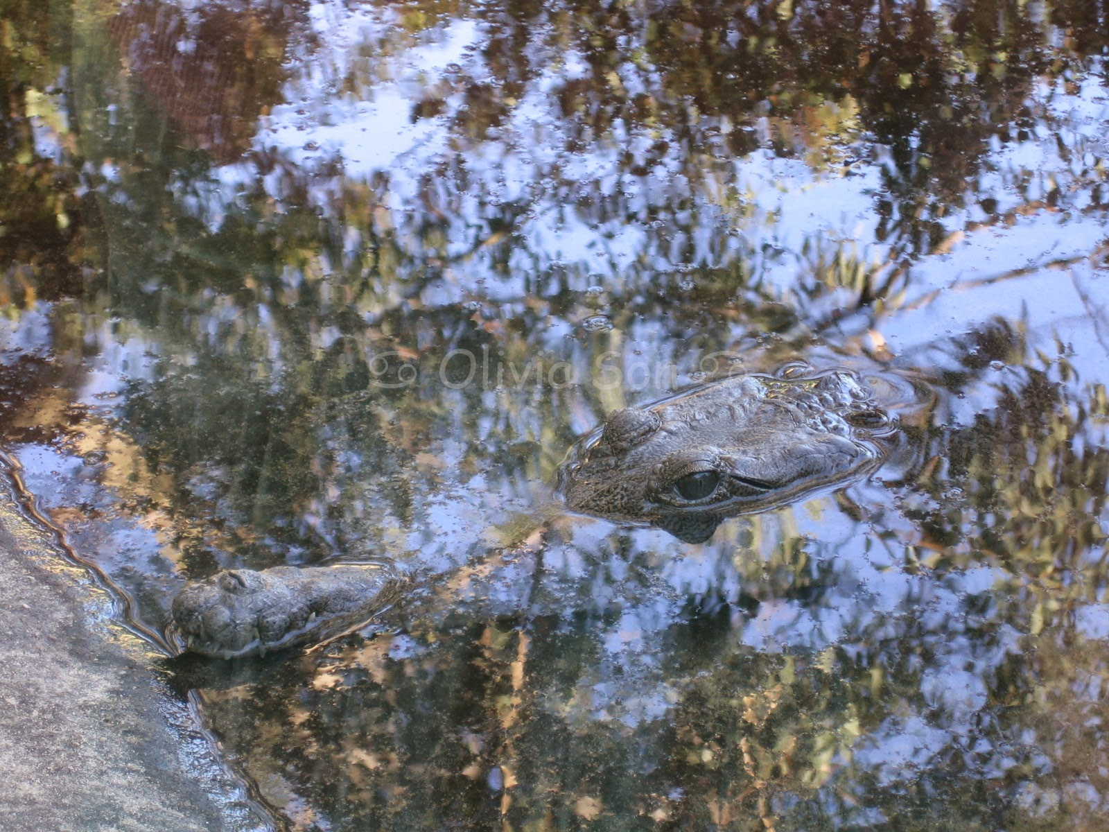 Crocodile Taronga Zoo, Sydney, Australie