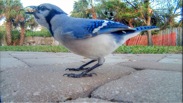 Blue Jays Stuff Their Crops and Hoard Peanuts Like Flying Chipmunks