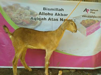 cari kambing murah di semarang