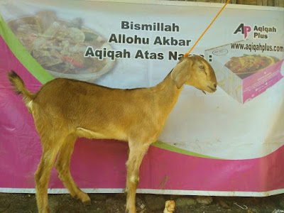 cari kambing murah di demak