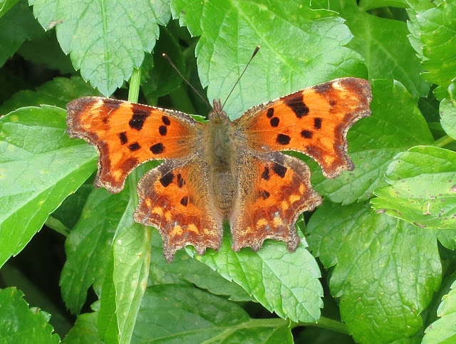 Comma Butterfly (Polygonia c-album) sitting on the leaves of Alexanders - wings open.