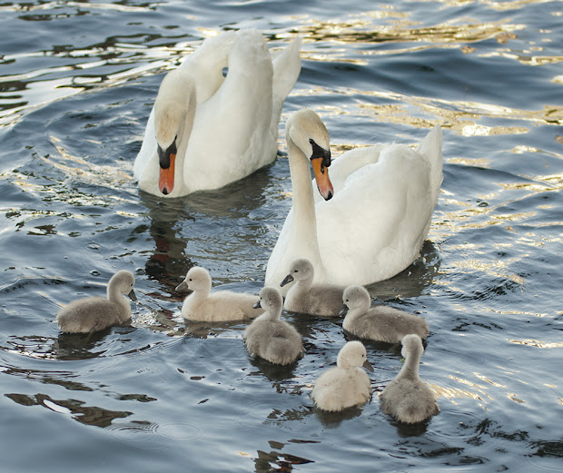 Journal Katherine Bargar Seven Swans