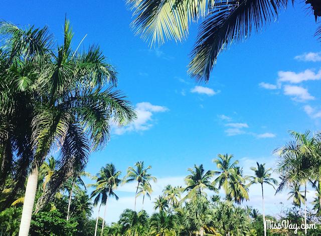 République Dominicaine palmier sud caraïbes