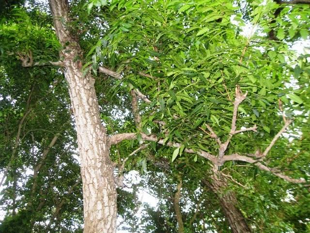 Bài thuốc dân gian trị chàm tận gốc: Cây Sầu Đâu