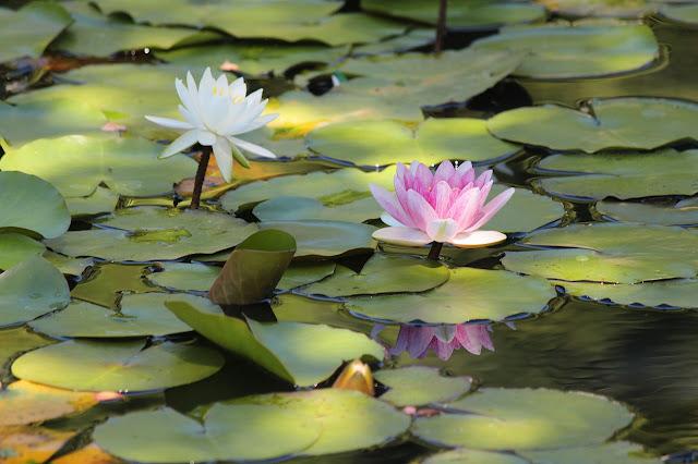 山田富士公園の睡蓮の花
