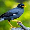 Cara Membuat Makanan Racikan Untuk Burung Jalak Kebo