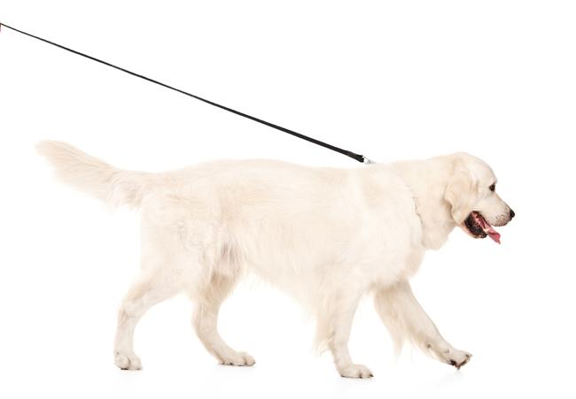 Gdy pies ciągnie na smyczy