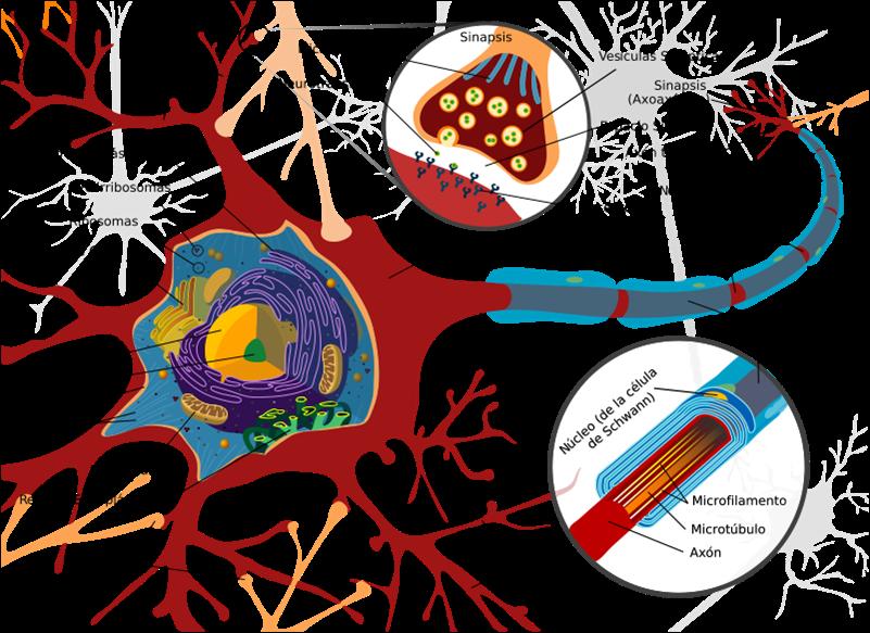 Resultado de imagen de Un revoltijo de neuronas sin fin