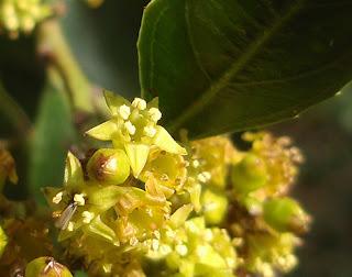 Flor masculina de aladierno