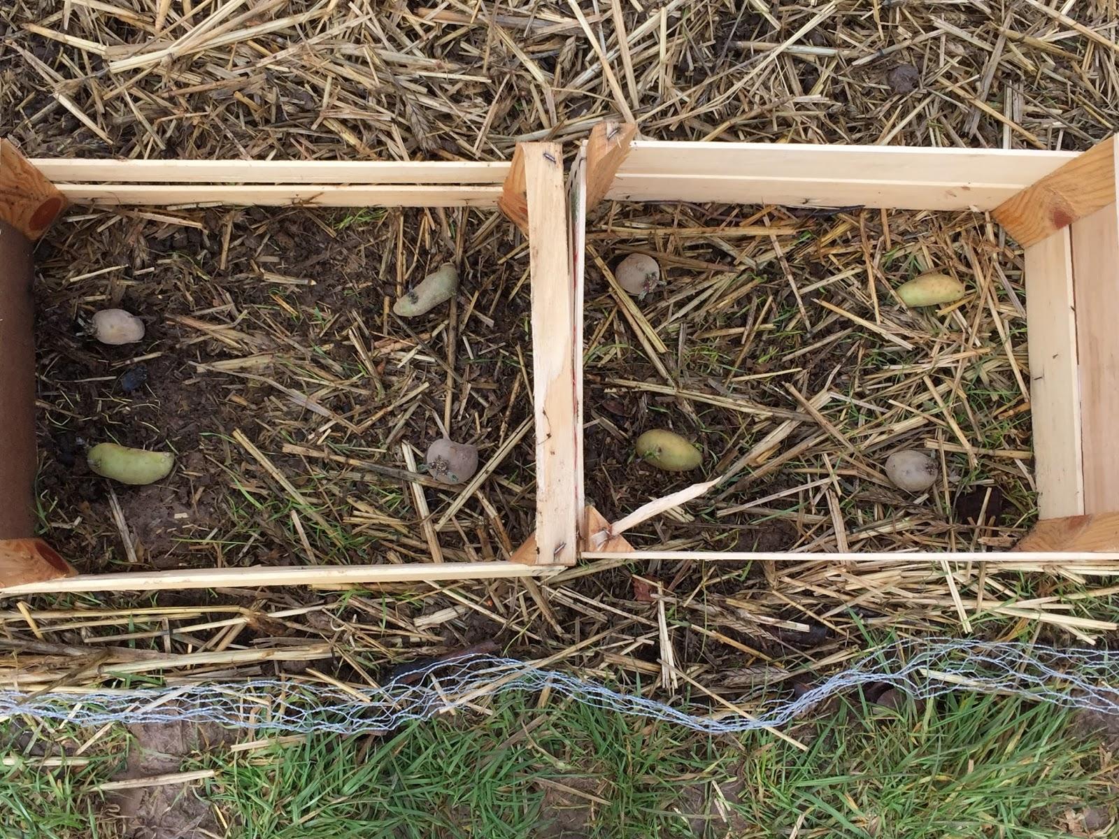 potager permaculture et petit levage culture de pomme de terre en cagette de bois. Black Bedroom Furniture Sets. Home Design Ideas
